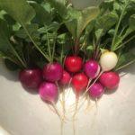 ラディッシュとミニチンゲン菜を収穫