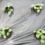 インゲンからツルが伸びてきました。他の野菜も成長中!