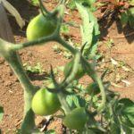 トマトは水やりと追肥をしなきゃダメ