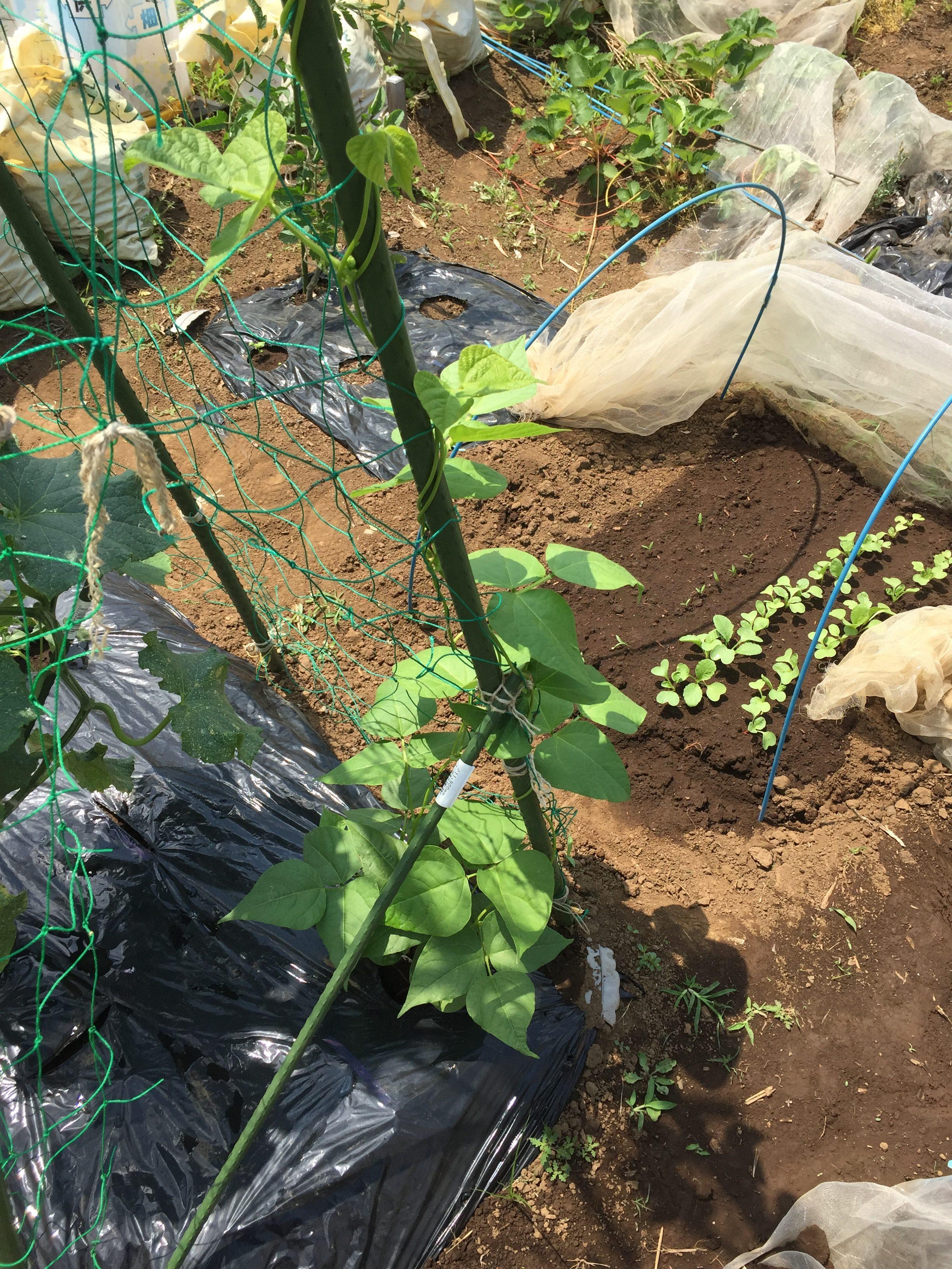 パクチーが2週目で発芽。他インゲン、オクラ、ラディッシュ