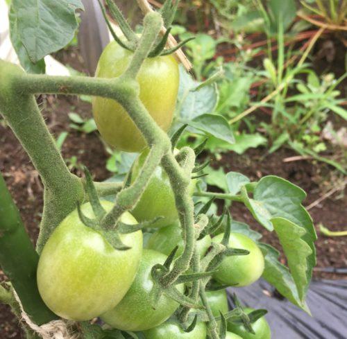 ミニトマトの実がつき始めたら、水やりと肥料は?
