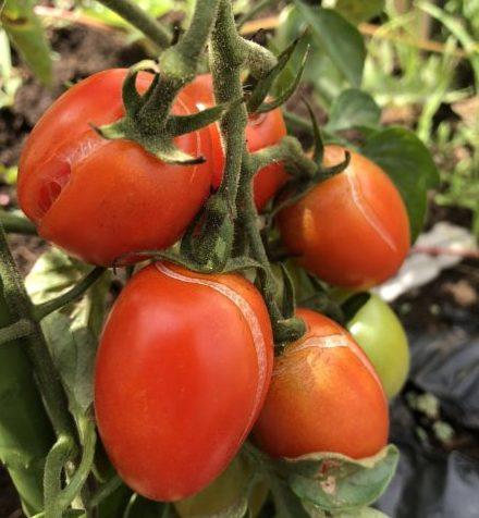 ミニトマトの裂果の原因と対策