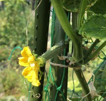 クウシンサイの摘心とキュウリ復活!他パクチー、インゲン収穫