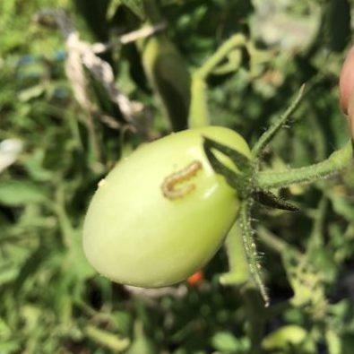ミニトマト、台風と害虫のダブルパンチ