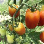ミニトマトとバジルの収穫もまた台風、裂果と落果が心配