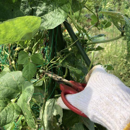 秋冬野菜の準備のため、インゲンを撤去!他クウシンサイの収穫。