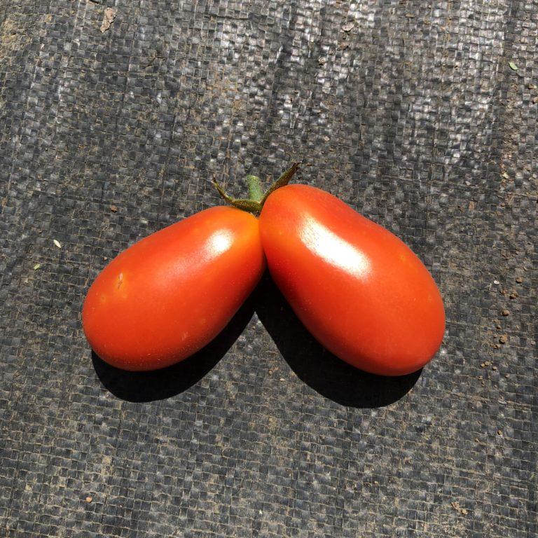 双子のミニトマトを収穫!バジルはジェノベーゼに。