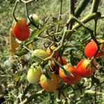 秋冬野菜のため、ミニトマトとバジルを撤去しました