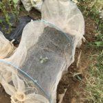 さらにカブ、コマツナ、春菊の種を蒔きました!