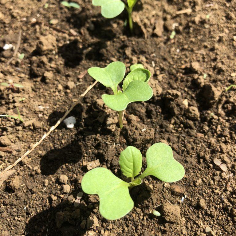 カブ、コマツナ、シュンギクの芽が出ました!さっそく間引き。