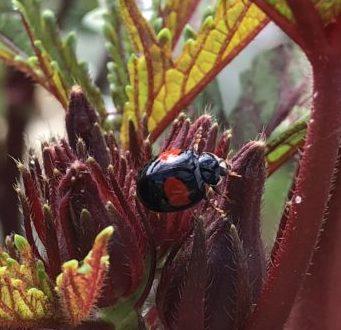 オクラにテントウムシとアリが!これって益虫?害虫?