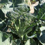 茎ブロッコリーとキャベツ10週目!茎ブロッコリーは3回目の追肥です