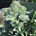 有機肥料でつくる!茎ブロッコリー(スティックセニョール)の育て方