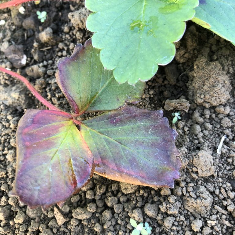イチゴ(宝交早生)5週目。寒さからか葉っぱが少し枯れてます。