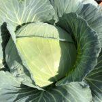 茎ブロッコリーとキャベツ14週目!キャベツが収穫間近、球割れ注意報!