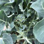 茎ブロッコリー15週目。3つ目の頂花蕾、側花蕾を収穫!