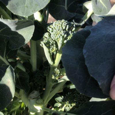 茎ブロッコリー16週目!側花蕾の収穫と5回目の追肥です。