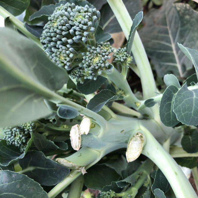 茎ブロッコリー17週目。茎ブロッコリーは栄養豊富!ファイトケミカルも!