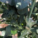 茎ブロッコリー20週目!引続き側花蕾の収穫です。