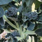 茎ブロッコリー21週目。久しぶりに側花蕾2本収穫!