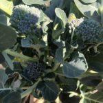 茎ブロッコリー22週目!3週おきの追肥、7回目です。