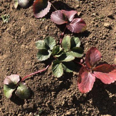イチゴ(宝交早生)15週目。花芽の摘み取り、枯葉の下葉取り。