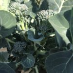 茎ブロッコリー23週目!順調に収穫数伸びてます。