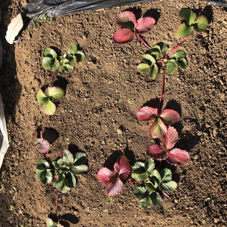 イチゴ(宝交早生)16週目。枯れ葉と赤い葉の摘み取り。