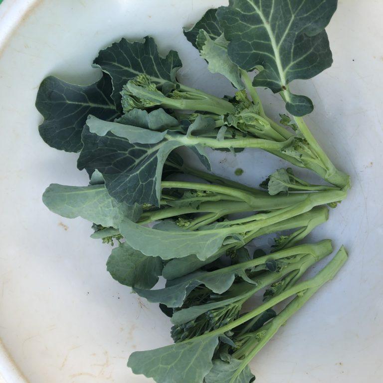 茎ブロッコリー25週目。側花蕾の収穫と8回目の追肥。