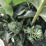 茎ブロッコリー26週目。側花蕾の収穫で記録更新です!