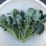 茎ブロッコリー27週目。先週に引続き、側花蕾9本収穫です。
