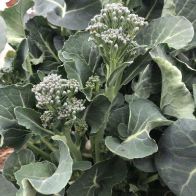 茎ブロッコリー28週目。側花蕾19本収穫!と最後の追肥。