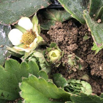 イチゴ(宝交早生)21週目。株元にアリの巣を作られました。