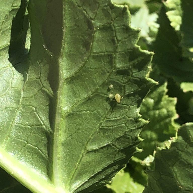 ダイコン(三太郎)17週目。暖かくなってきたので害虫注意。