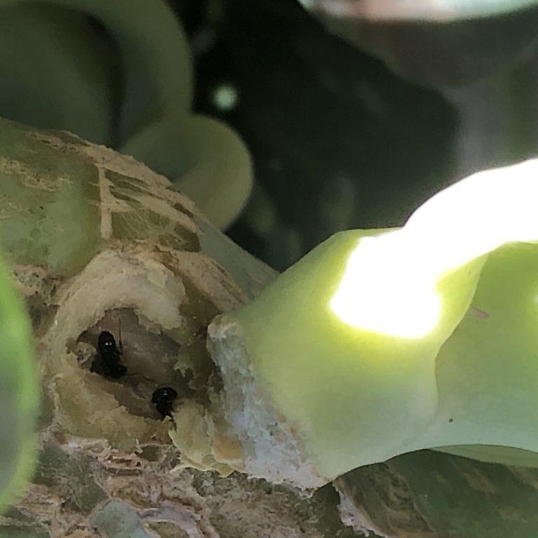 茎ブロッコリー30週目。アリが茎内部に坑道形成?