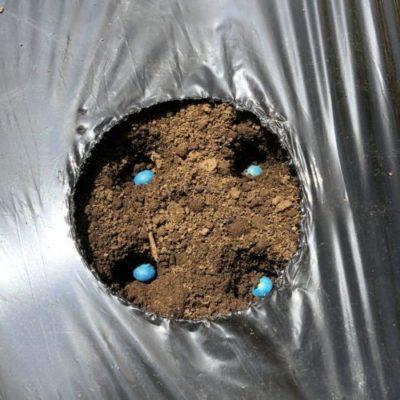 エダマメ(湯あがり娘)1週目。種蒔きと防虫トンネル作り。