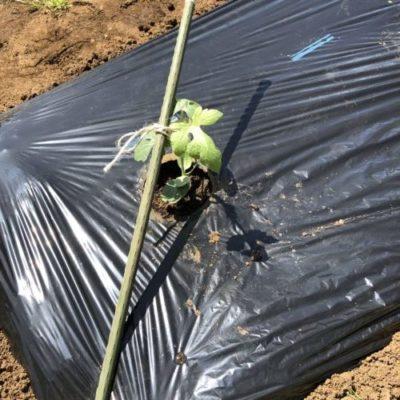 小玉スイカ(愛娘なつこDX)1週目。苗を定植しました。