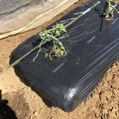 中玉トマト(シンディスウィート)1週目。マルチを張って苗を定植。