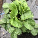 イチゴ(宝交早生)24週目。古い葉っぱを葉かきしました。