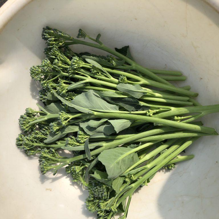 茎ブロッコリー32週目。夏野菜のためにそろそろ撤去予定。