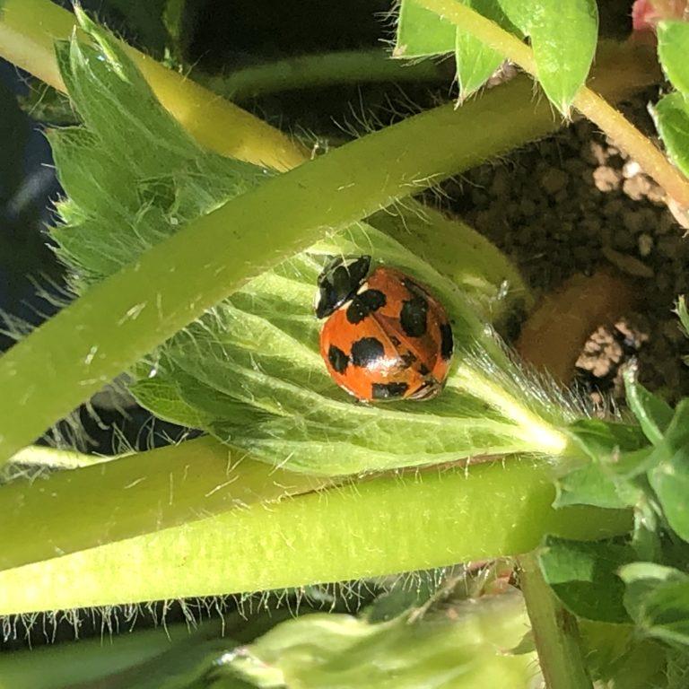 イチゴ(宝交早生)26週目。花とアブラとてんとう虫。