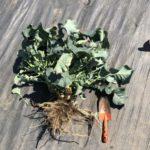 茎ブロッコリー33週目。最後の収穫と撤去。