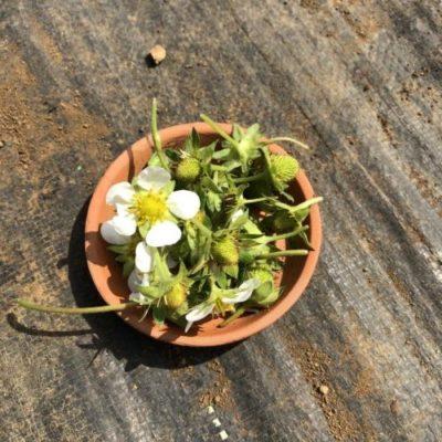 イチゴ(宝交早生)28週目。イチゴの摘花・摘果をしました。