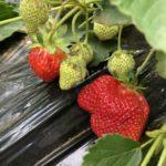 イチゴ(宝交早生)29週目。イチゴ初収穫です!