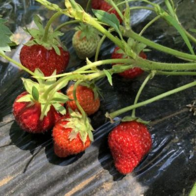 イチゴ(宝交早生)30週目。収穫数を更新です!