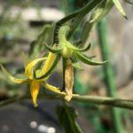 中玉トマト(シンディスウィート)4週目。一番花が無事受粉できました。