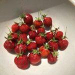イチゴ(宝交早生)31週目。収穫数更新!でもそろそろ終わり?