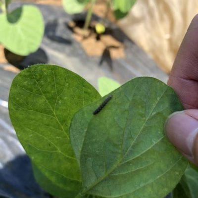 エダマメ(湯あがり娘)5週目。葉っぱに食害痕を発見。