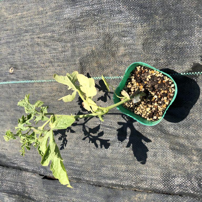 小玉スイカ(愛娘なつこDX)5週目。新しい苗を植えなおしました。