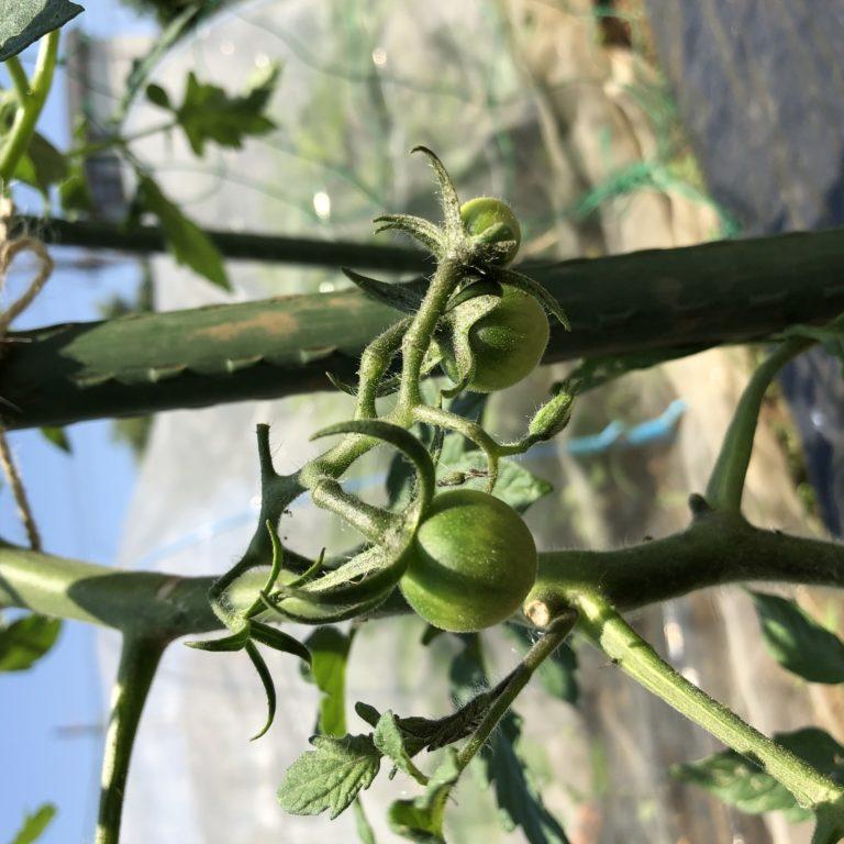 中玉トマト(シンディスウィート)5週目。緑の実が少し大きくなりました。